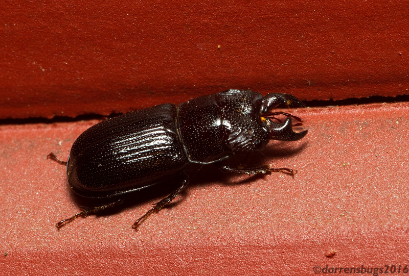 Stag beetle (Lucanidae: possibly Ceruchus piceus) from Iowa, USA.