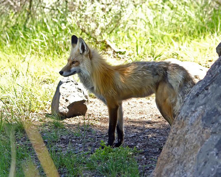 Kit Fox, Yellowstone 3.jpg