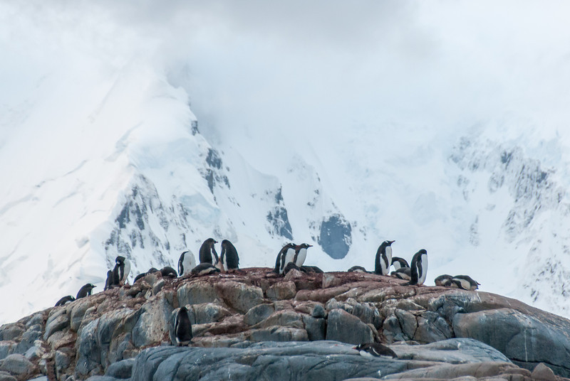Gento penguins with mountains in background, Port Lockroy