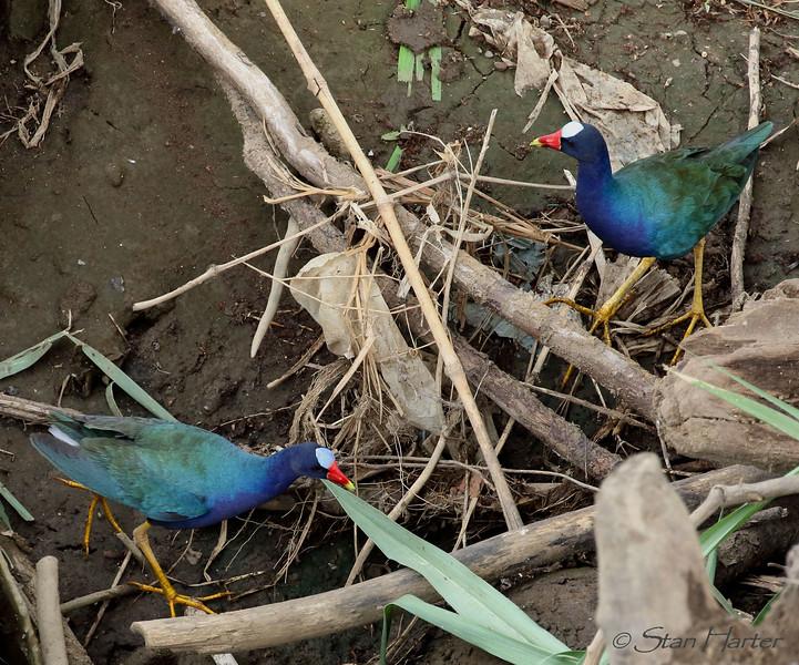 Purple Galinules.jpg