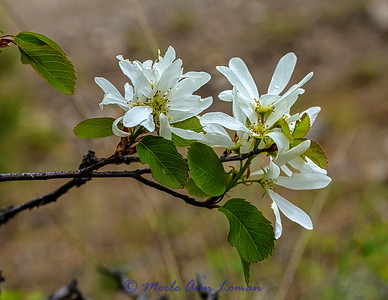 Saskatoon Serviceberry - Amelanchier alnifolia