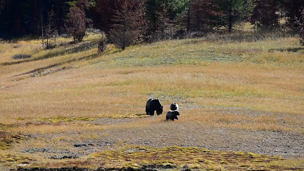 10-14-14 Video Grizzly Mom & 2 Cubs
