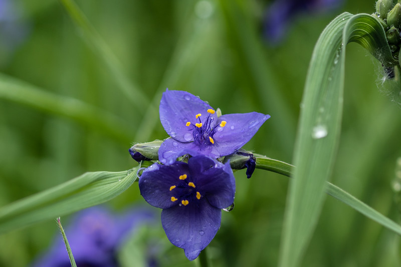 Arboretum Flower Iris-06293.JPG
