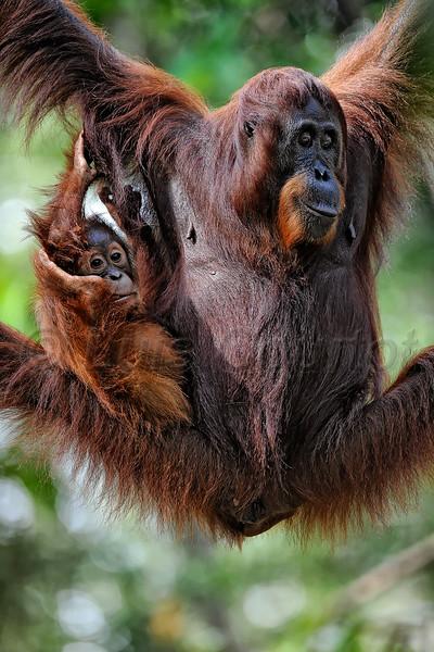 ® Luis Courtot Borneo Orang outang