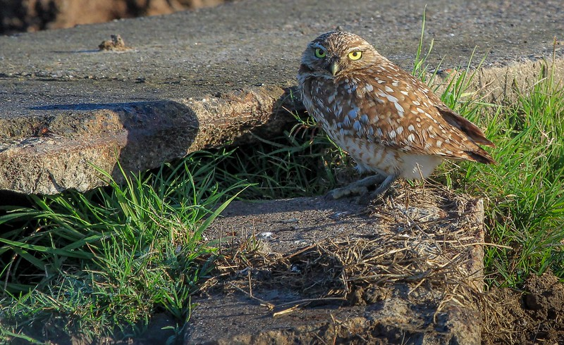 zzAnahuac,2-16-16 022A Burrowing Owl at nest.jpg