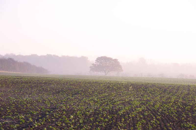 Misty crops and oaks.jpg