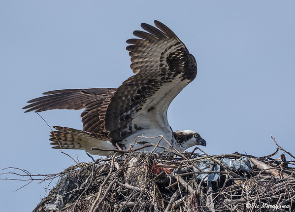 2016 OSPREY NESTS
