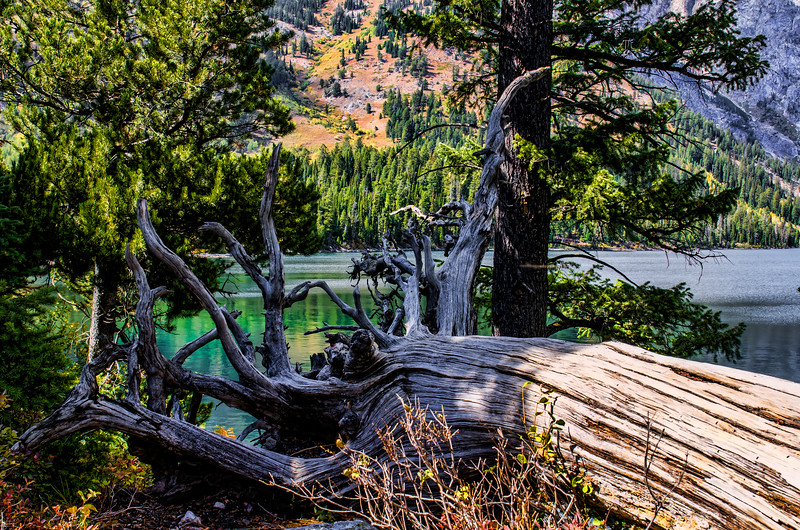 Jenny Lake tree stump 091416-1.jpg