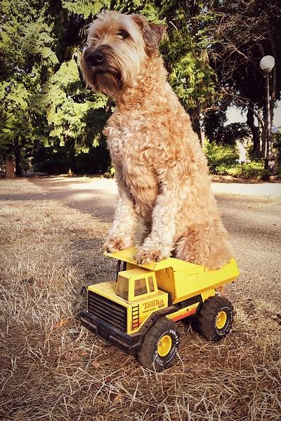 Tonka Truck Wheaten Terrier