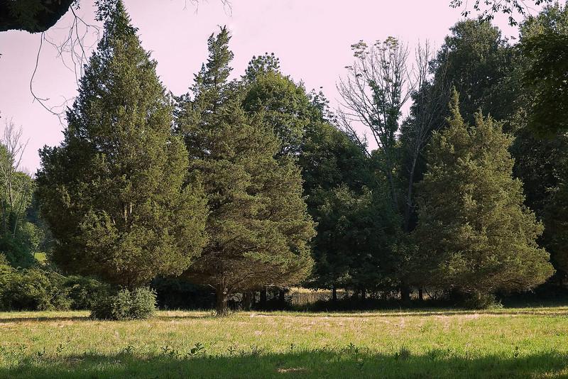 Cedars in the Field.jpg