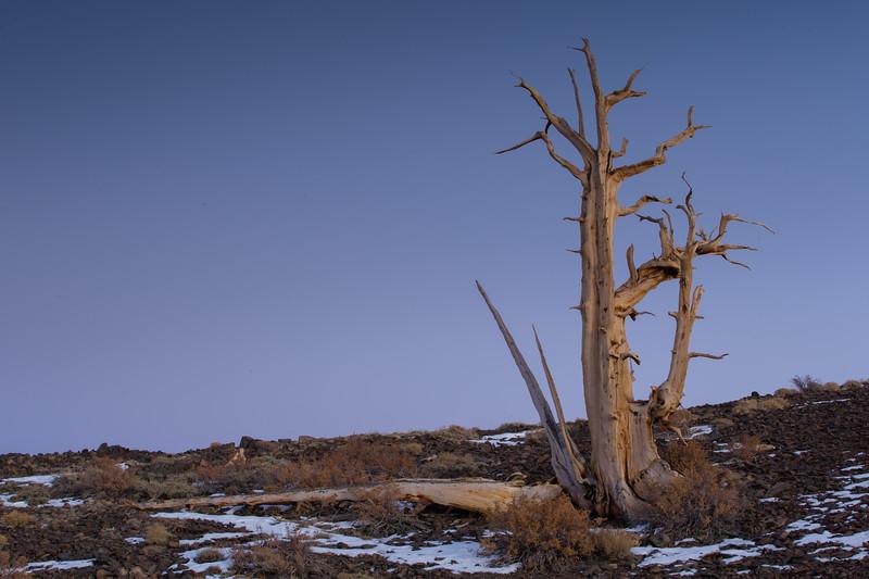 Bristlecone Pine tree - Ancient Bristlecone Pine forest, Lone Pine, CA