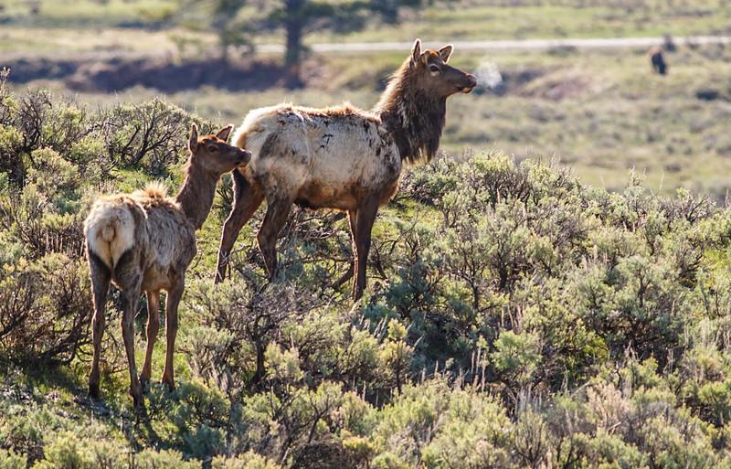 Elk pair Yellowstone National Park WY IMG_6567.jpg
