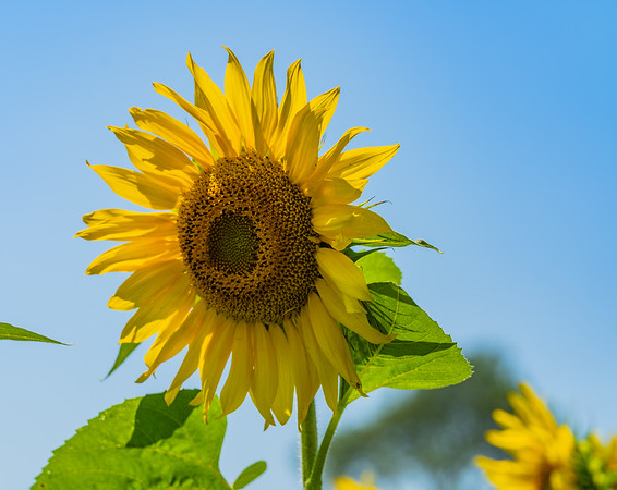 Buttonwood Farm - Sunflowers for Wishes