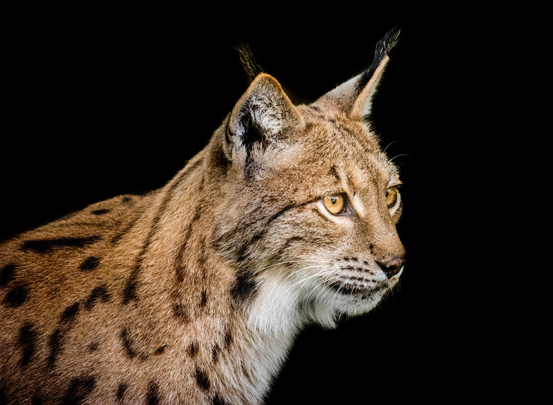 Head closeup of a beautiful Eurasian lynx