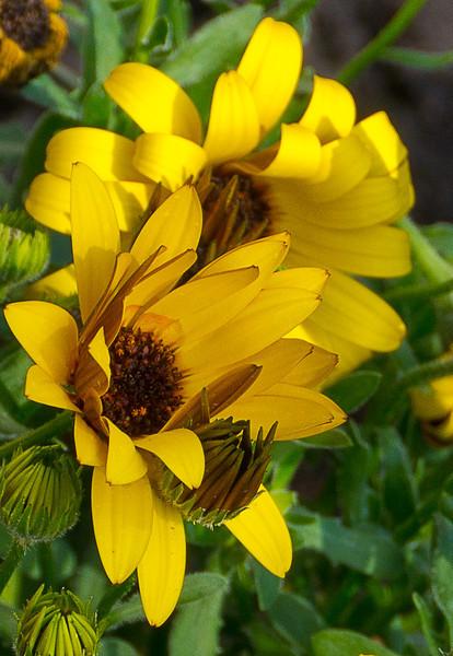 gh2-daisy.jpg