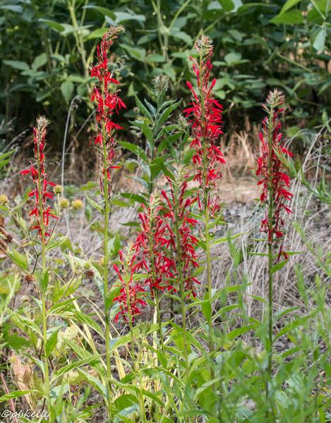 cardinal flower  080114-1.jpg