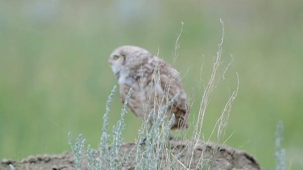 6-20-18 Video - Burrowing owls