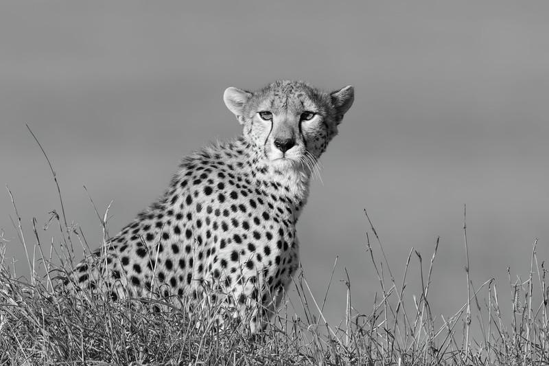 Serengeti Cheetah in B/W