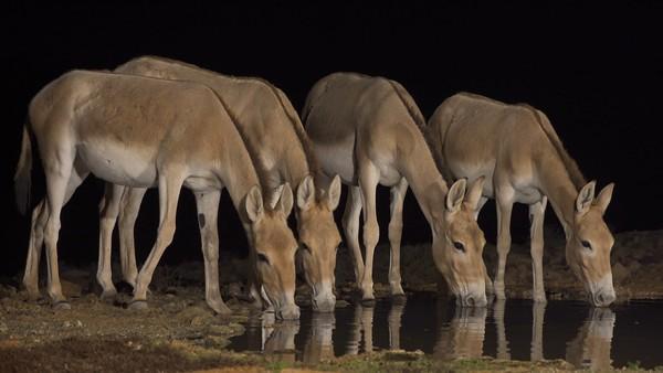 Asiatic wild ass &  African Wild Ass-פראים וערודים