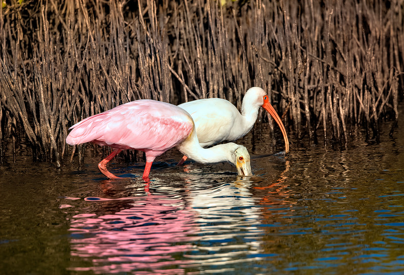 Roseate Spoonbill and White Ibis foraging...