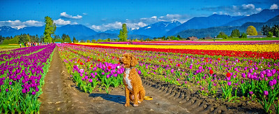 Luna, Tulips and Daffodils