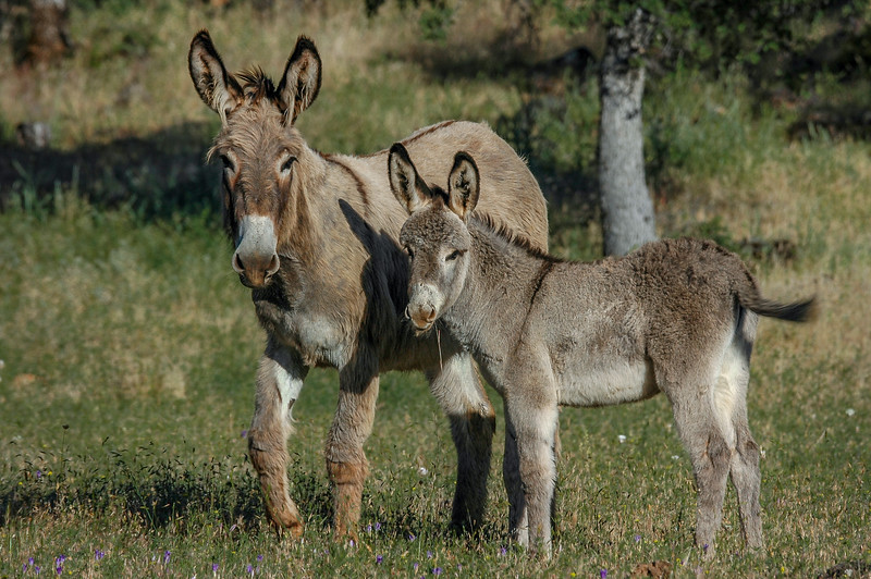 Wild Burro Foal and Mother