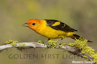 Western Tanager, Cabin Lake OR, USA