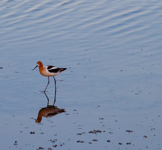 American Avocet  American Avocet: Long-legged shorebird with long, thin, upcurved bill and distinctive black-and-white back and sides. Head and neck are bright rust-brown during summer. Legs and feet are gray. Feeds on insects, crustaceans, and invertebrates. Strong direct flight with neck extended.  Range and Habitat American Avocet: Breeds from interior Washington, Saskatchewan, and Minnesota south to California and Texas. Spends winters on the west coast north to California, on the Gulf Goast, and in Florida. In fall, this bird is a regular visitor on the Atlantic coast. Preferred habitats include freshwater marshes and shallow, marshy lakes. Breeds locally in salt or brackish marshes; often moves to coasts during winter.
