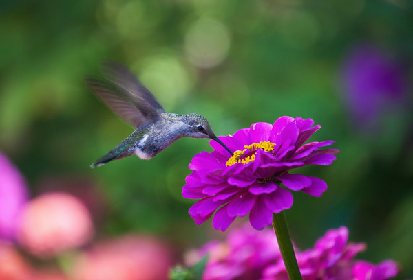 Hummingbird & flower.jpg