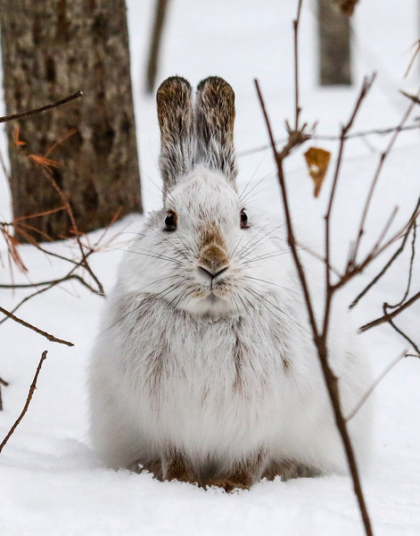 Snowshoe Hare in the Northwoods