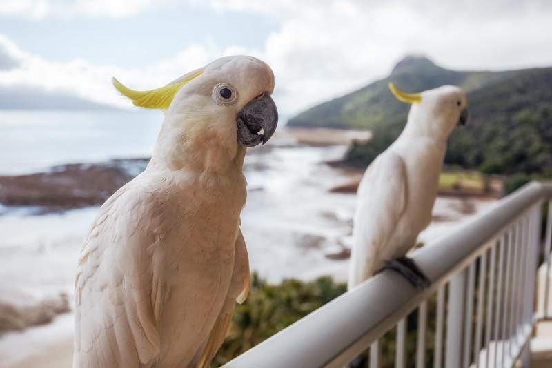 Island Cockatoos