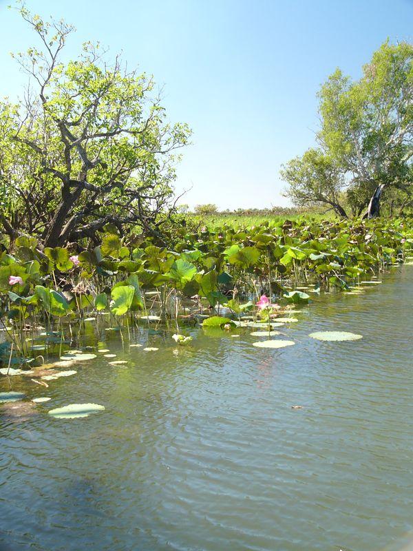 Lotus lillies at the Yellow Water billabong.