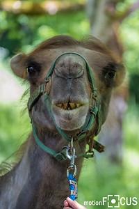 Kamele mitten in Bayern