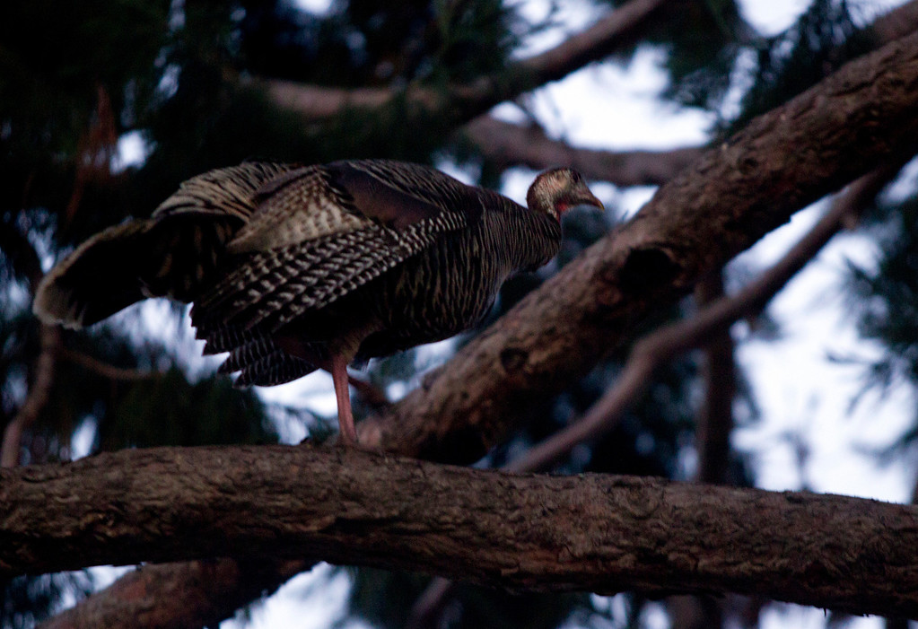 . A wild turkey perches in a redwood behind a home on Cornell Avenue, Sunday, Feb. 24, 2013 in Albany, Calif, one of about 30 birds that have taken up residence in the tree. Neighbors are requesting that the city do something about the birds, a flock of which have taken up residence in an area tree. (D. Ross Cameron/Staff)