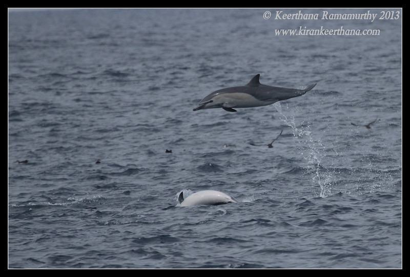 finally caught one in the air, Common Dolphin, Whale Watching trip, San Diego County, California, September 2013