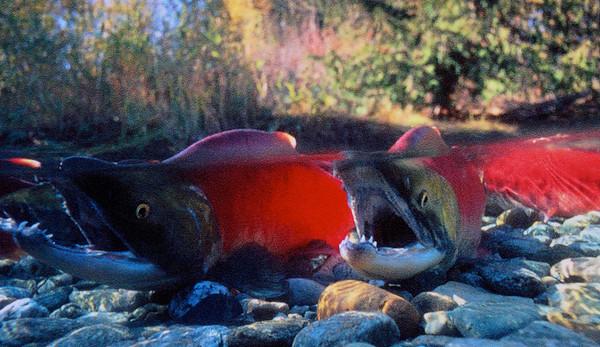 Canada Salmon Run 2014