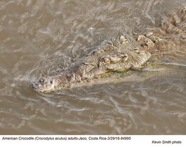 American Crocodile A84995.jpg