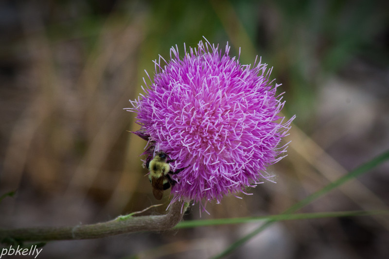 June 22.  Nodding Thistle at Sherman Marsh.  I don't remember seeing these around home.