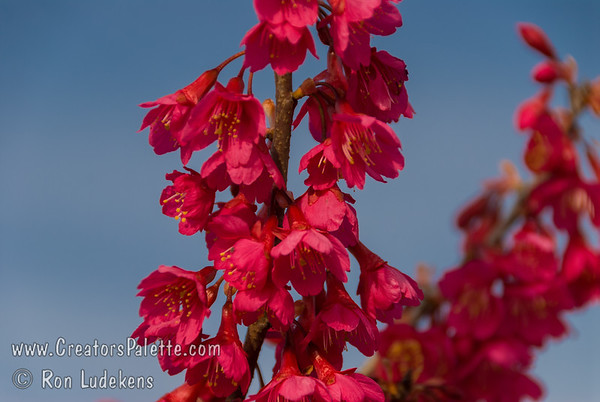 Taiwan Flowering Cherry (Prunus campanulata)