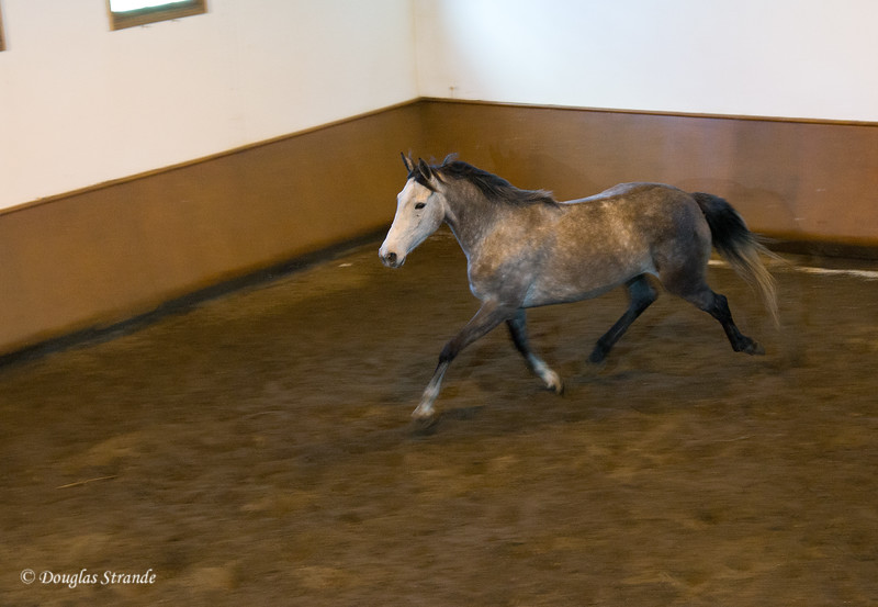 Wed 3/16 at the horse-breeding farm: Andalusian in early training