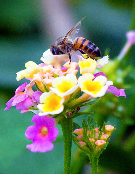 Another honey bee, nose in the lantana