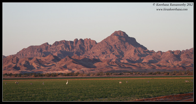 Early morning sun hitting the hills, birds started to land on the green pasture to feed, Cibola National Wildlife Refuge, Arizona, November 2012