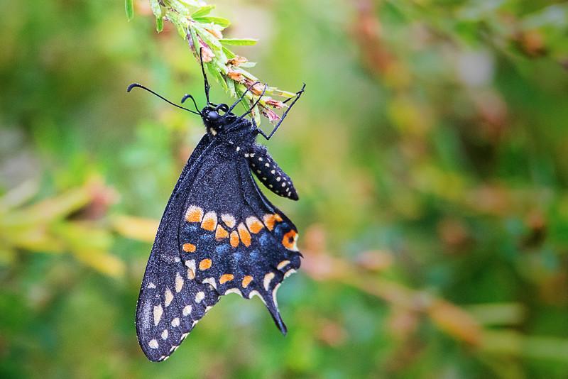 9.25.18 - Blackburn Creek Fish Nursery: Spicebush Swallowtail