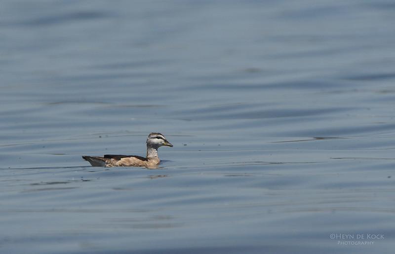 Cotton Pygmy-goose, Lake Claredon, QLD, Dec 2012.jpg