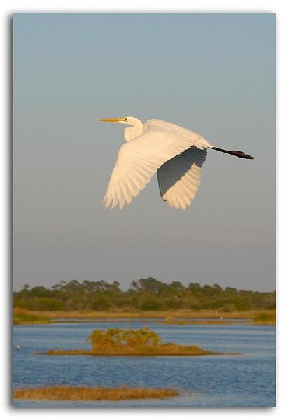 Great Egret in Flight.jpg