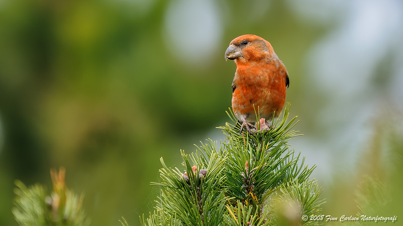 Stor korsnæb (Loxia pytyopsittacus - Parrot Crossbill)