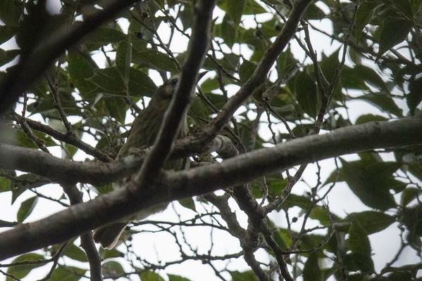 Negros Striped Babbler