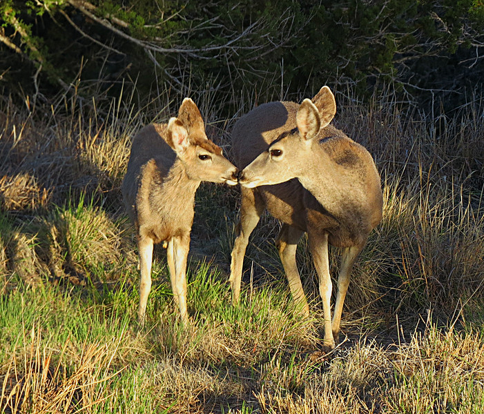 Mule deer mom and youngster.jpg