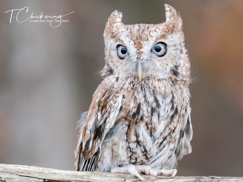 Eastern Screech Owl Red Morph Perching-1560896806839.jpg