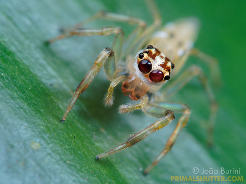 Jumping spider frontal macro